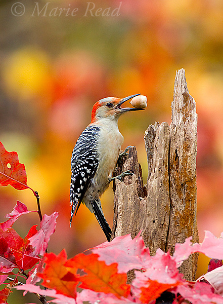 Red-bellied Woodpecker (Melanerpes carolinus) female holding an acorn in autumn, New York, USA. In autumn, these woodpeckers often store acorns and other seeds for winter food.