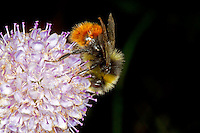 Red-tailed Bumblebee - Bombus lapidarius - feeding male.