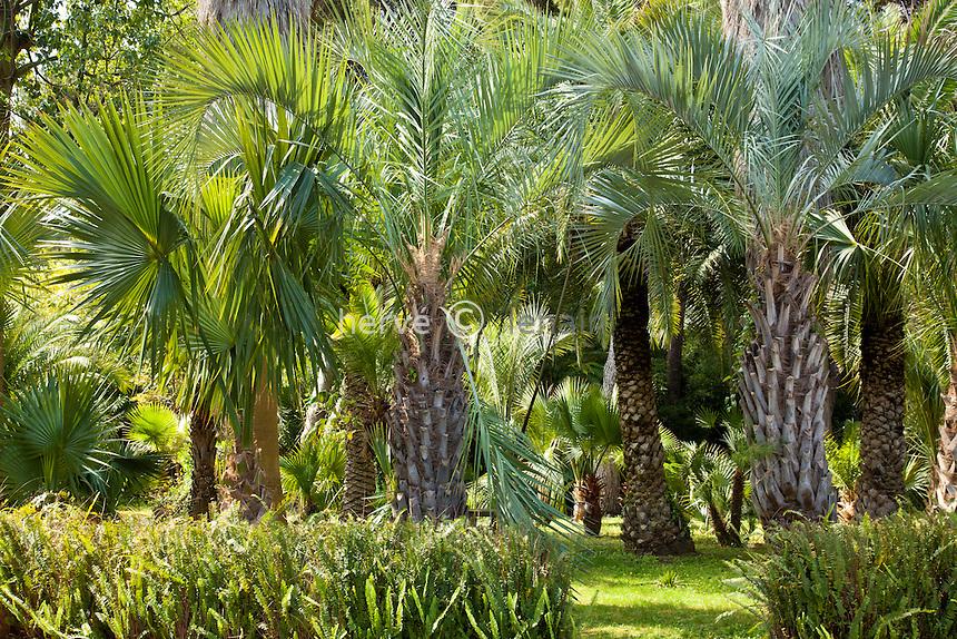 France, Alpes-Maritimes (06), Saint-Jean-Cap-Ferrat, le jardin botanique des Cèdres: la palmeraie // France, Alpes-Maritimes, Saint-Jean-Cap-Ferrat, the botanical garden les Cèdres (Cedars): the palm.
