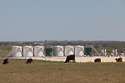DEWITT COUNTY, TX - SEPTEMBER 25, 2013: Cattle graze near venting tanks which store produced water (white tanks) and condensate (green tanks) from oil and gas drilling activity nearby. The orange wind sock serves as a protection measure for the poison gas Hydrogen Sulfide (H2S). CREDIT: Lance Rosenfield/Prime
