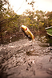 BRAZIL, Agua Boa, a Peacock Bass jumping out of the water, Agua Boa River and resort