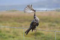Vogel stirbt an Stacheldraht, Zaun, Stacheldrahtzaun, Tod durch Draht in der Landschaft, Bird dies of barbed wire, fence, barbed wire fence, death by wire in the countryside, barbwire. Rotdrossel, Rot-Drossel, Drossel, Turdus iliacus, redwing, La Grive mauvis