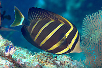 Pacific sailfin tang / surgeonfish (Zebrasoma veliferum) , Albatross channel, Kavieng, Bismarck sea, Pacific ocean, Papua New Guinea, Asia