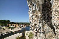 In Collias in the Gard, a swarm lands on the cliff near the bank of the River Gardon. Swarming starts between April and May, when the abundance of food has strengthened the hive, which thus has numerous brood cells and queen cells.