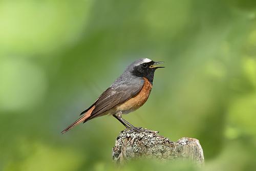 Common Redstart - Phoenicurus phoenicurus
