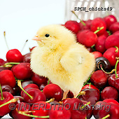 Xavier, EASTER, OSTERN, PASCUA, photos+++++,SPCHCHICKS49,#e#, EVERYDAY ,chicken