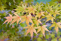 Acer palmatum Sango-kaku AGM  in fall autumn foliage color Japanese maple tree