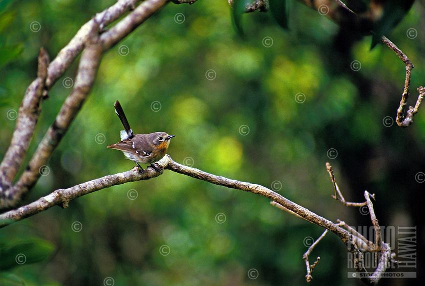 Native Hawaiian bird Elepaio,(chasiempis sandwichensis)