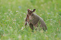 Nine-banded Armadillo (Dasypus novemcinctus), adult standing up smelling, Fennessey Ranch, Refugio, Coastal Bend, Texas Coast, USA