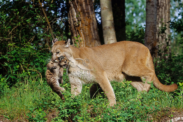 Female Mountain Lion carrying one of her wandering cubs back to the den area.