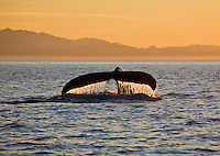 Humpback Whale (Megaptera novaeangliae) raising its tale to dive at sunset in Juan de Fuca Strait off Victoria, British Columbia, Canada.