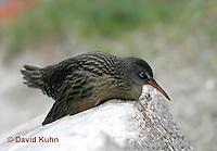 "0102-08nn  Virginia Rail ""Freshwater Marsh Bird"" - Rallus limicola   © David Kuhn/Dwight Kuhn Photography."