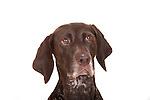 German Short Haired Pointer Dog, Portrait, Studio