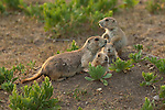 A family of black-tailed prairie dogs sit outside their burrow in Custer State Park, South Dakota.