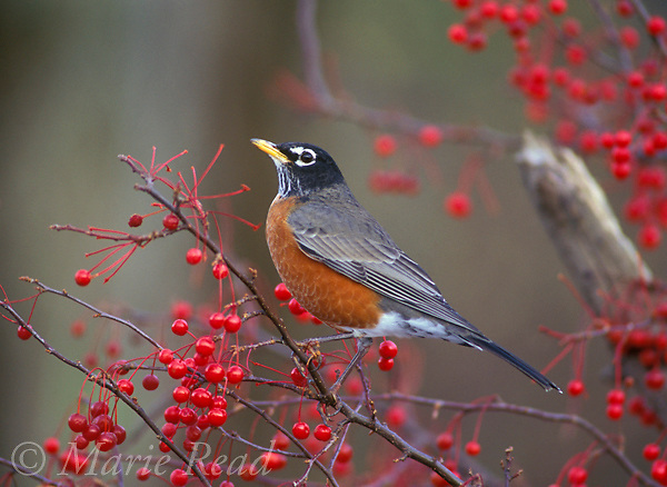 American Robin male (Turdus migratorius) male perched amid berries in autumn, New York, USA <br />