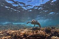 Galapagos green sea turtle, Santiago Island, Galapagos Islands, Ecuador