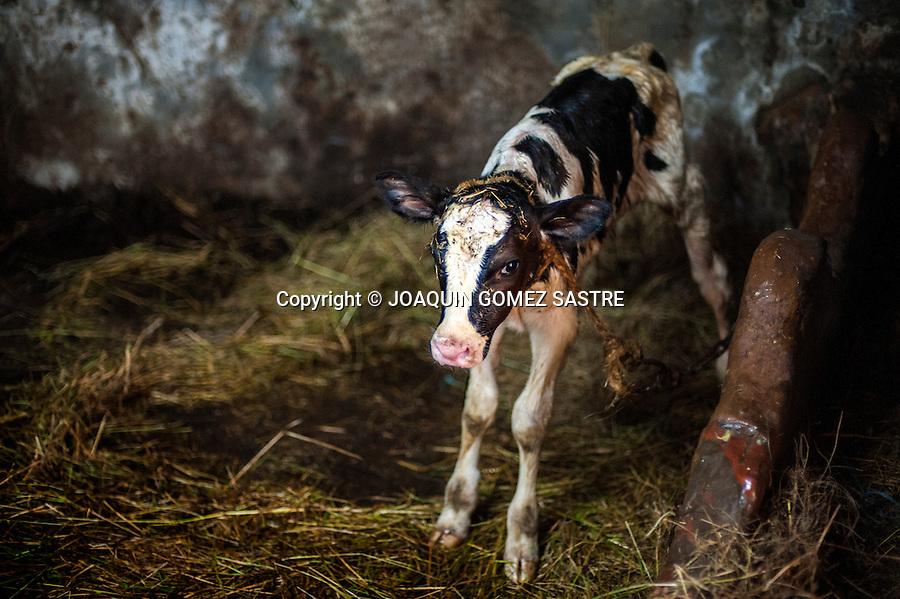 Un becerrop recien nacido en la exoplotacion ganadera de David en Miengo (Cantabria)