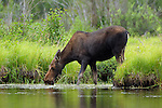 Cow Moose Feeding in Water