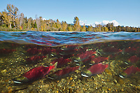 RY0745-D. Sockeye Salmon (Oncorhynchus nerka), hundreds in spawning colors swimming upstream where they will spawn and die. Adams River, British Columbia, Canada.<br /> Photo Copyright &copy; Brandon Cole. All rights reserved worldwide.  www.brandoncole.com