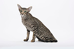 Oriental Short Hair cat, Spotted Tabby, 2 1/2 years old, Male,