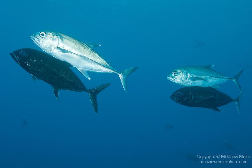 Cocos Island, Costa Rica; Bigeye Jack (Caranx sexfasciatus) fish swimming in male/female pairs during mating season, the males darken to almost black and swim beneath their female mate