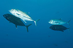 Cocos Island, Costa Rica; Bigeye Jack (Caranx sexfasciatus) fish swimming in male/female pairs during mating season, the males darken to almost black and swim beneath their female mate