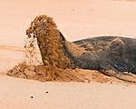 """Hawaiian Monk Seal or """"llio-holo-i-ka-uaua"""" (dog that runs in rough waters) is sunbathing on Shipwreck Beach  in Po'ipu Bay on Kaua'i, Hawaii"""