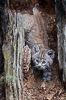 Bobcat Kitten in an old tree stump - CA