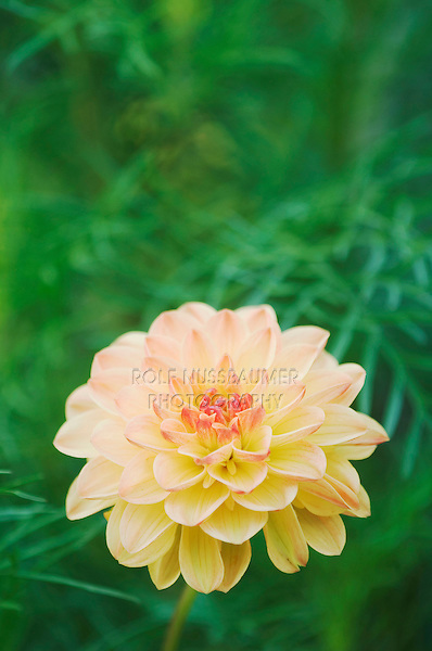 Dahlia, Dahlia sp., blooming, garden flower, Oberaegeri, Switzerland, Europe