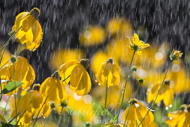 Yellow flowers in in the rain in Central Park, New York City, New York.