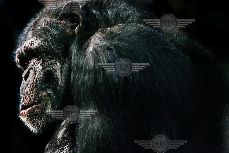 A chimpanzee at Edinburgh zoo.