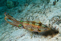 nr0387-D. Caribbean Reef Squid (Sepioteuthis sepiodea). Belize, Caribbean Sea.<br /> Photo Copyright &copy; Brandon Cole. All rights reserved worldwide.  www.brandoncole.com