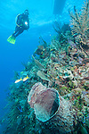 Gardens of the Queen, Cuba; a scuba diver hovers above two large barrel sponges on the coral reef, as the dive boat floats overhead