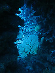 Orchid Island (蘭嶼), Taiwan -- Sea fan in an underwater cavern at Jichang Waijiao (機場外礁)