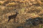 Iberian Red Deer (Cervus elaphus hispanicus) stag, Sierra de Andujar Natural Park, Sierra de Andujar, Sierra Morena, Andalusia, Spain