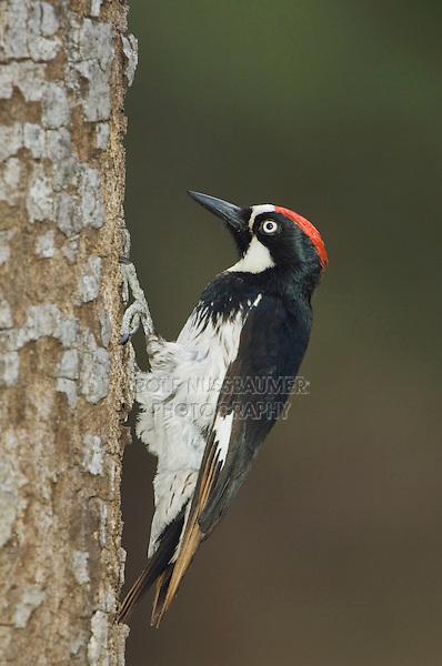 Acorn Woodpecker, Melanerpes formicivorus, male, Madera Canyon, Arizona, USA