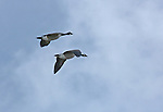 Canada Geese (Branta Canadensis) flying during spring migration over Kootenai National Wildlife Refuge near Bonners Ferry, Idaho