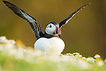 Atlantic Puffin (Fratercula arctica) flapping wings, Skomer Island National Nature Reserve, Skomer Island, Pembrokeshire, Wales, United Kingdom