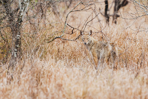 Coyote (Canis latrans), adult, Sinton, Corpus Christi, Coastal Bend, Texas, USA