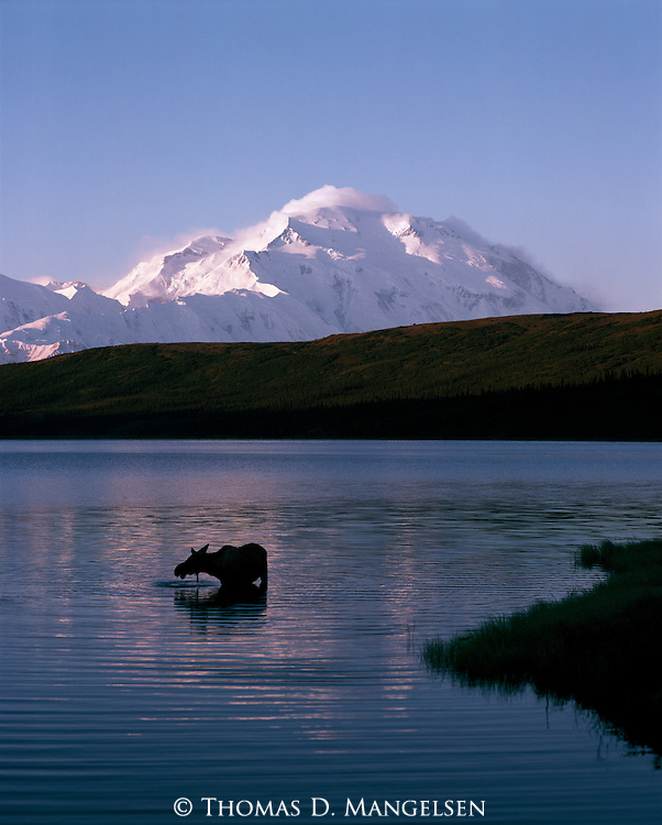 Mt. McKinley towers over a moose standing in Wonder Lake in Denali National Park, Alaska.