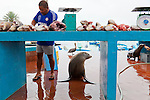 Santa Cruz Island, home to giant tortoises and the Charles Darwin Research Center, Galapagos National Park, Galapagos, Ecuador. The fish market on Santa Cruz Island in the small town of Puerto Ayora