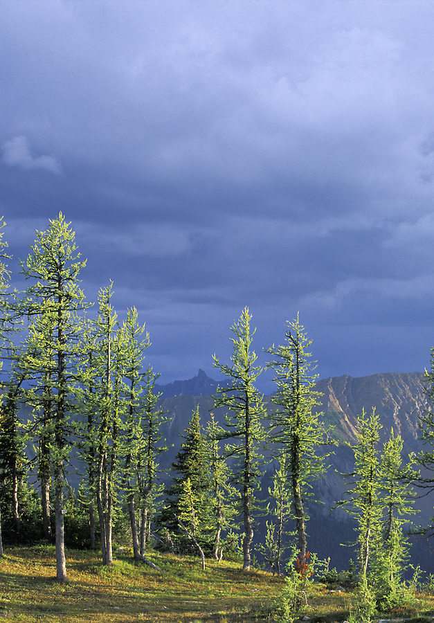 Larch trees in evening light, Golden Horn in distance, Hart's Pass, Cascade Mountains, Washington