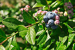 Closeup of ripening blueberries. Ontario, Canada.