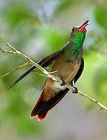 Juvenile buff-bellied hummingbird in september