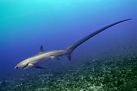 pelagic thresher, Alopias pelagicus, Philippines, Pacific Ocean