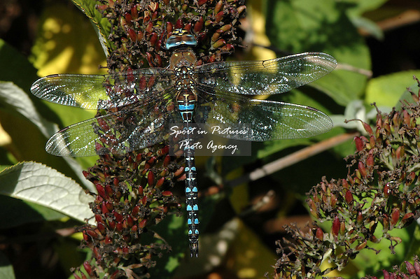 A Migrant Hawker dragonfly