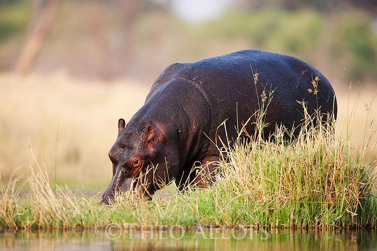 Botswana, Okavango Delta, Moremi Game Reserve, Hippopotamus (Hippopotamus amphibius) grazing near water