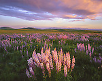 Wallowa County, OR    <br /> Flowering lupine on Zumwalt prairie with Findley Buttes and the Wallowa mountains in the distance at sunset