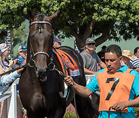 "ARCADIA, CA. JUNE 3: #7 Bolo in the paddock before the Shoemaker Mile (Grade l), Breeders' Cup ""Win and You're In"" race on June 3, 2017, at Santa Anita Park in Arcadia, CA. (Photo by Casey Phillips/Eclipse Sportswire/Getty Images)"