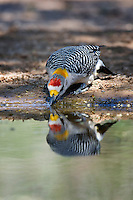 Golden-Fronted Woodpecker drinking water with reflection